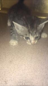 Free kitten Georges Hall Bankstown Area Preview