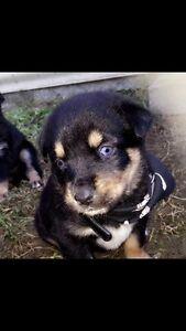 Rottsky pups Jimboomba Logan Area Preview