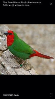 Red face parrot finch  Tarneit Wyndham Area Preview