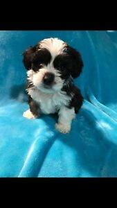 Shihpoo puppies ready to go
