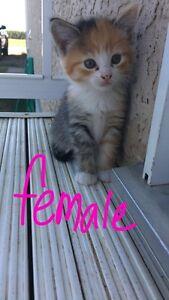 8 week old kittens (Free)