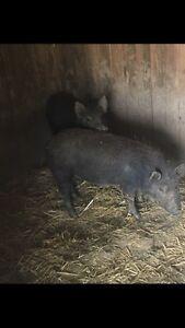 Female pigs Molesworth Derwent Valley Preview