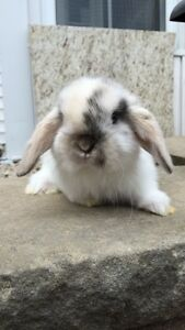 Three adorable and friendly holland lop baby bunnies for sale