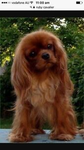 Cavalier King Charles Spaniel Wanted Cannon Hill Brisbane South East Preview