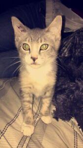 Kitten with shots plus neuter