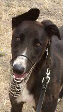 Greyhound free to good home.. 15 months old Kurunjang Melton Area Preview