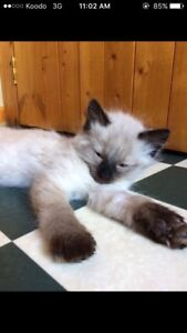 2 male Siamese kittens for sale