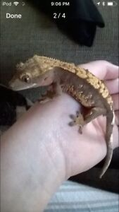 2 year old male crested gecko with tank and supplies