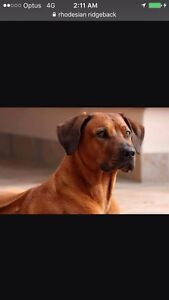 WANTED ridge back, Great Dane, American staffy or Rottweiller Altona Hobsons Bay Area Preview