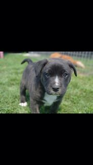 American Staffy x Staffy/bull Arab pup $200 10weeks old Woodberry Maitland Area Preview
