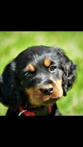 CKC Gordon Setter Puppies