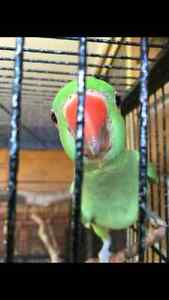2x Green Indian Ringneck chicks Parkwood Gold Coast City Preview