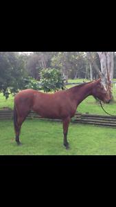 Quarter Horse x Stock (unbroken) rising 3yrs Cedar Creek Gold Coast North Preview