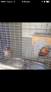BREEDING LORIKEETS AND COCKATIELS Canberra City North Canberra Preview