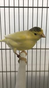 2018 ready to breed female canaries $20-$40