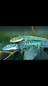 Abronia Graminea (Mexican Alligator Lizard)