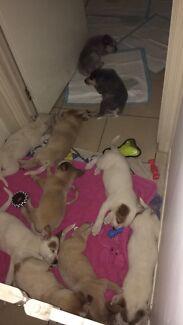 Australian cattle dogs (HEELER puppy) Cranbourne Casey Area Preview