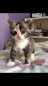 Energetic female kitten