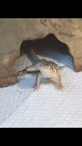 Élevage de lézards à collier