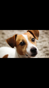 Purebred Jack Russell Puppie