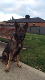 Sable german shepherd female not desexed 2.5 yr old Craigieburn Hume Area Preview