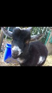 4 month old male Pygmy goat for sale