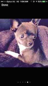 ANY INFO PLEASE COME FORWARD    BIG REWARD  chihuahua Girrawheen Wanneroo Area Preview