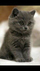 WANTED: DARK GREY KITTEN Meadow Heights Hume Area Preview