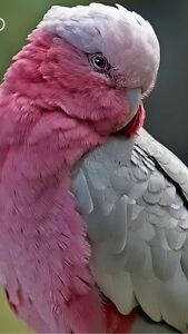 Pink and grey Galah West Swan Swan Area Preview