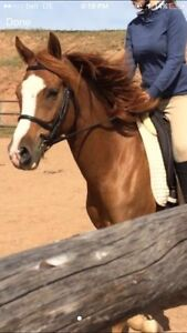 2009 Arab welsh mare