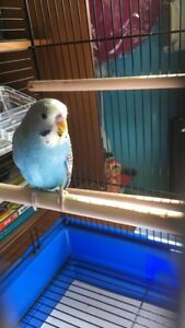 Young Budgie includes cage and accesories