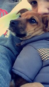 Chihuahua X Blue heeler puppy Mount Gambier Grant Area Preview