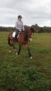 Experienced TB Gelding Teesdale Golden Plains Preview