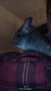 Chinchilla rescue (and some other small animals)