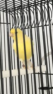 Singing male American singer canaries for