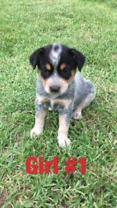 Blue Cattle X Red Cattle Dog Puppies for Sale