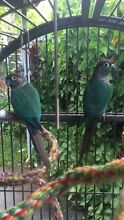 Aviary turquoise blue green cheek conures Varsity Lakes Gold Coast South Preview