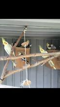 Birds breeding cockatiels and avery Hollywell Gold Coast North Preview