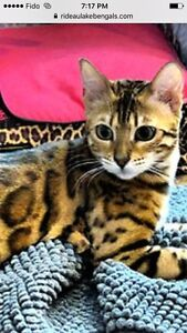 Tica Reg Female Bengal with Breeding rights