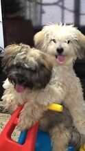 2 Maltese x Shitzu dogs for sale Greenslopes Brisbane South West Preview
