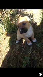 Staffy X Bullmastiff pups for sale, $450 Paralowie Salisbury Area Preview