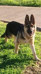 German shepherd puppy 5 months Craigieburn Hume Area Preview