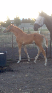 Stand out Colt! Cranbourne Casey Area Preview