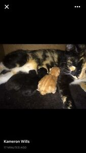 Kittens for sale!! Goodna Ipswich City Preview