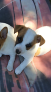 Jack Russell pup Keith Tatiara Area Preview