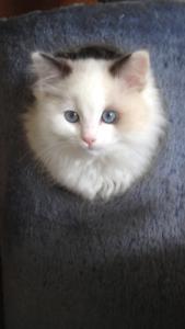 3 Purebred Ragdoll Kittens For Sale! Cockatoo Cardinia Area Preview