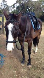 WILL - Black TB Gelding - 16.2hh - 13yo- Been there done that! Kincumber Gosford Area Preview