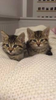 beautiful kittens looking for a good home