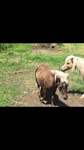 Miniature horse herd