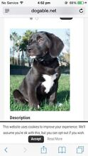 Wanted-lab x beagle puppy Richmond Hawkesbury Area Preview